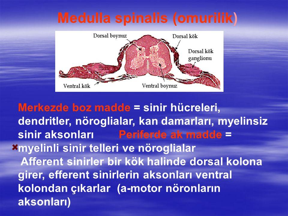 Medulla spinalis (omurilik)