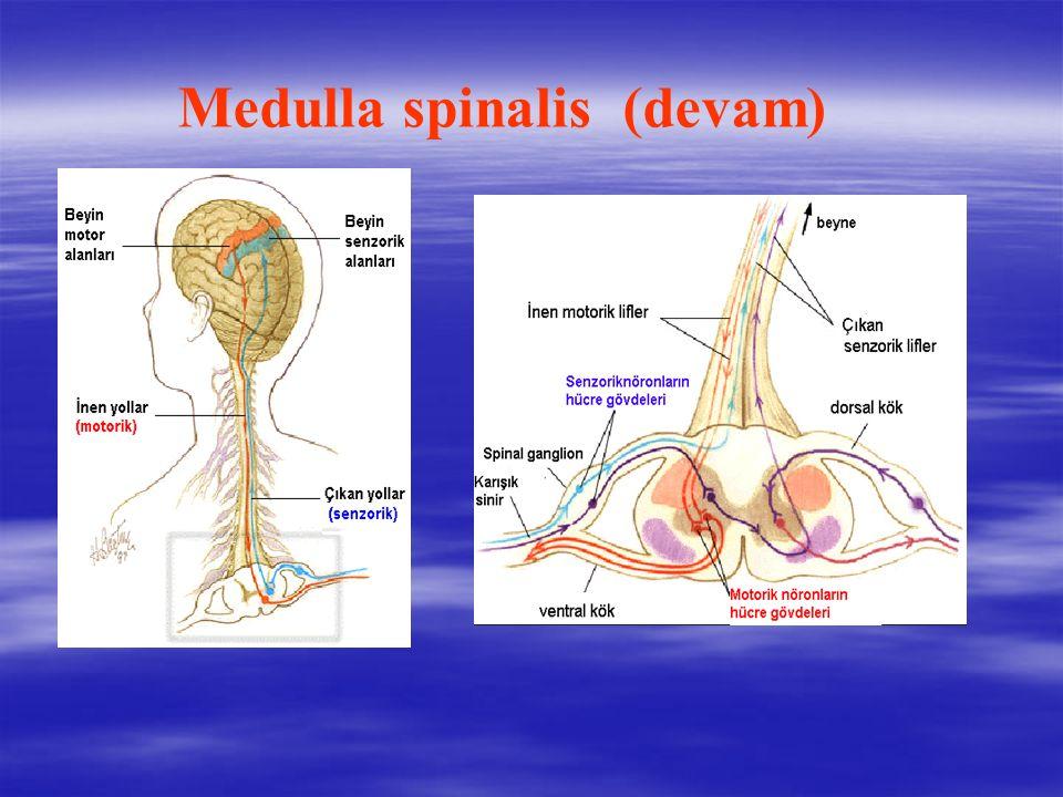 Medulla spinalis (devam)