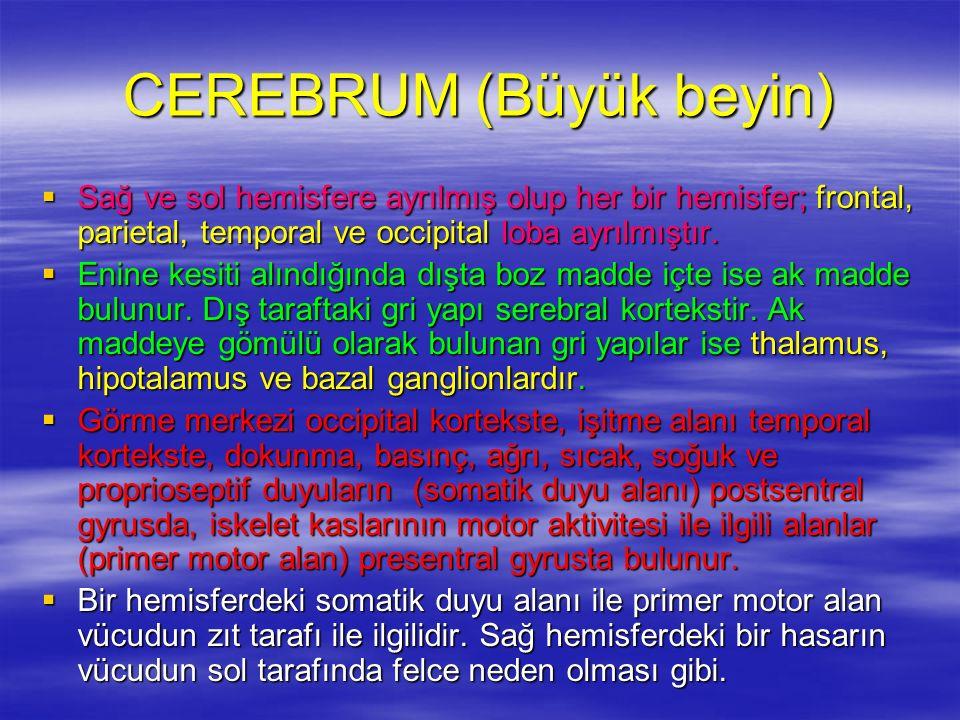CEREBRUM (Büyük beyin)