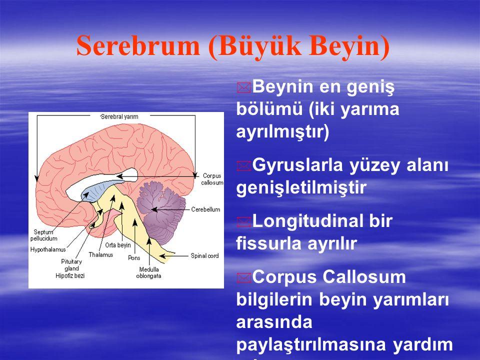 Serebrum (Büyük Beyin)
