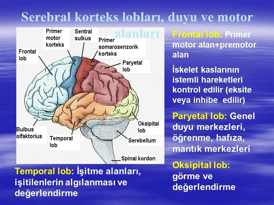 Serebral korteks lobları, duyu ve motor alanları