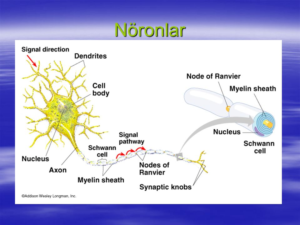 Nöronlar