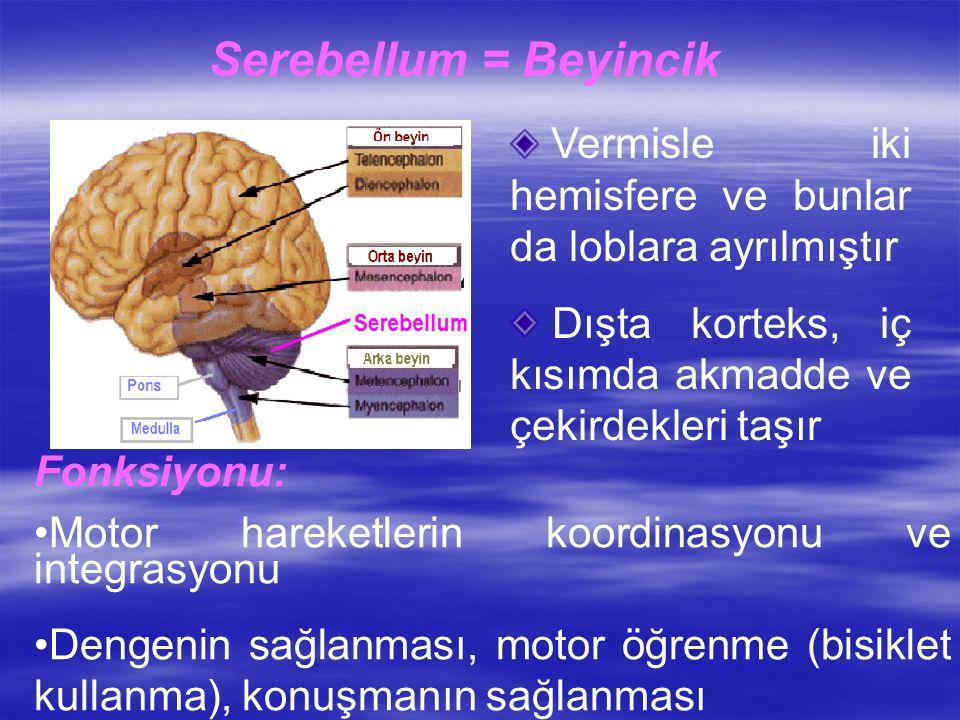 Serebellum = Beyincik Vermisle iki hemisfere ve bunlar da loblara ayrılmıştır. Dışta korteks, iç kısımda akmadde ve çekirdekleri taşır.