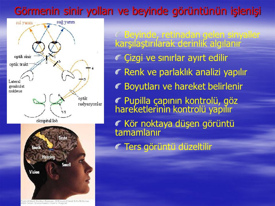 Görmenin sinir yolları ve beyinde görüntünün işlenişi