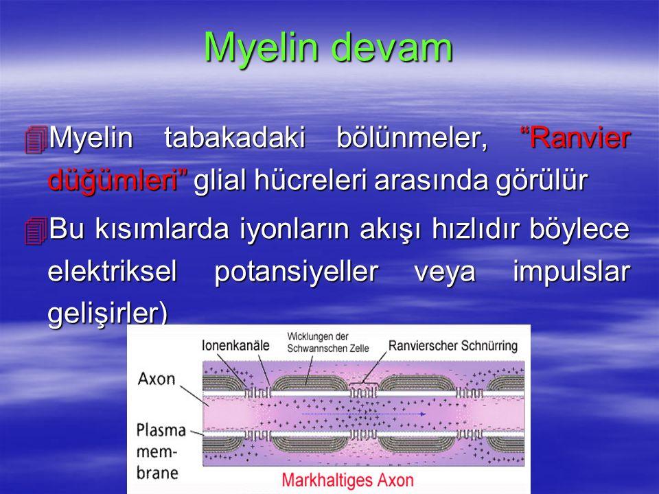 Myelin devam Myelin tabakadaki bölünmeler, Ranvier düğümleri glial hücreleri arasında görülür.