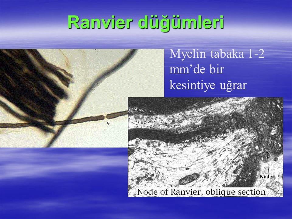 Ranvier düğümleri Myelin tabaka 1-2 mm'de bir kesintiye uğrar