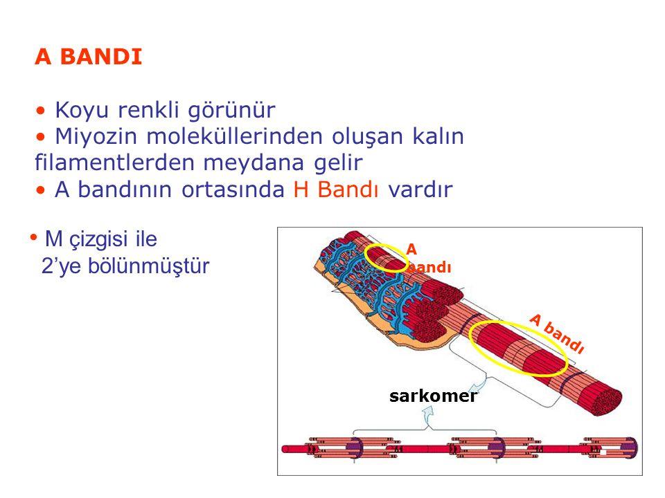Miyozin moleküllerinden oluşan kalın filamentlerden meydana gelir