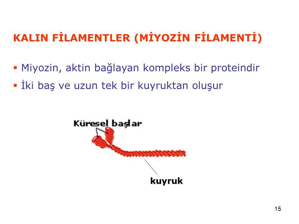 KALIN FİLAMENTLER (MİYOZİN FİLAMENTİ)