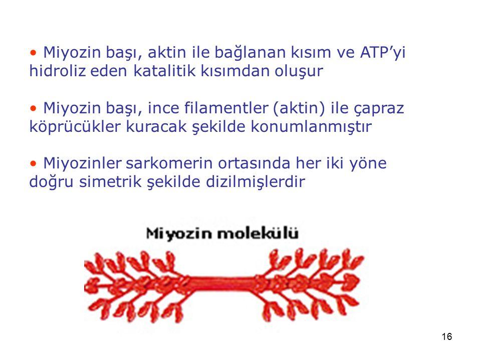 Miyozin başı, aktin ile bağlanan kısım ve ATP'yi hidroliz eden katalitik kısımdan oluşur