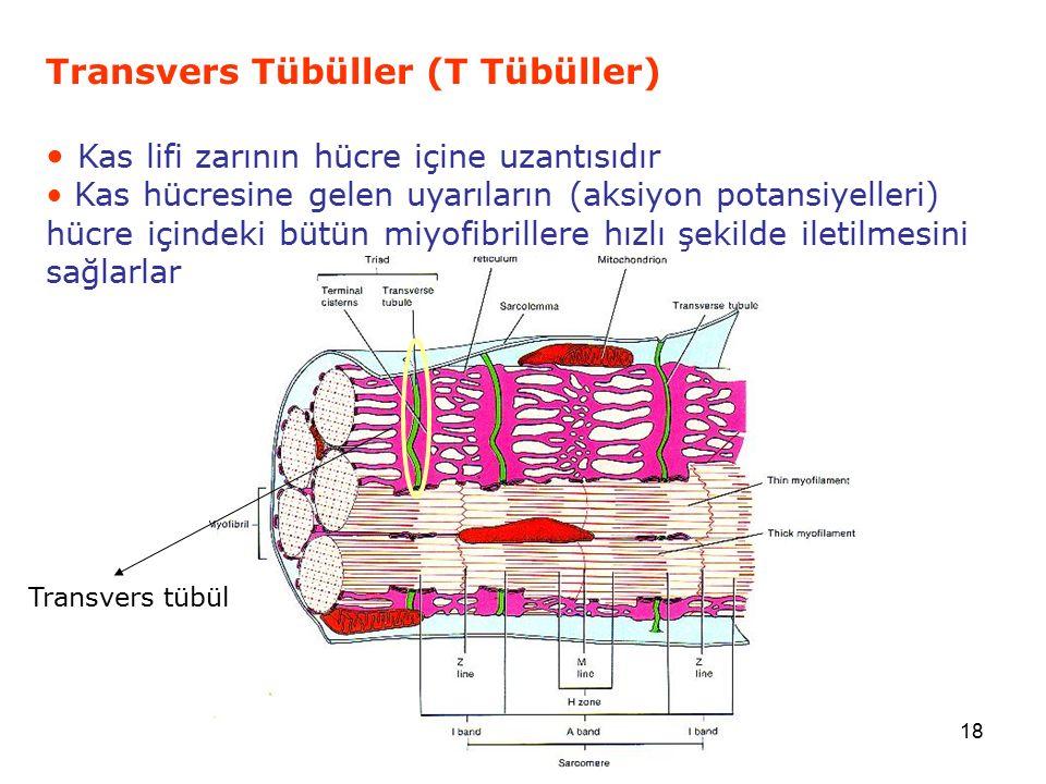 Transvers Tübüller (T Tübüller)