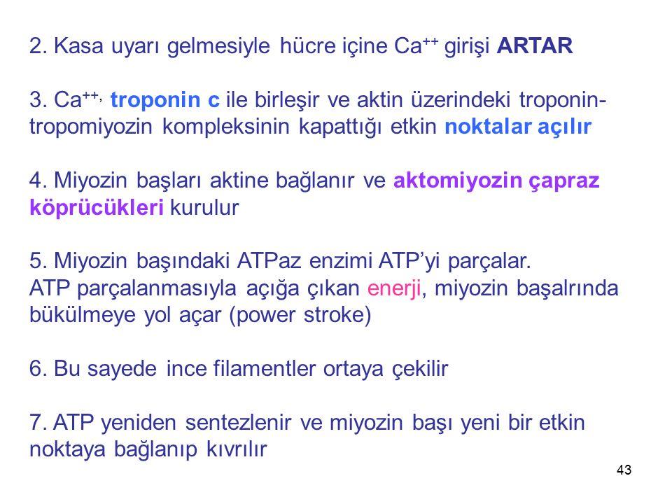 2. Kasa uyarı gelmesiyle hücre içine Ca++ girişi ARTAR