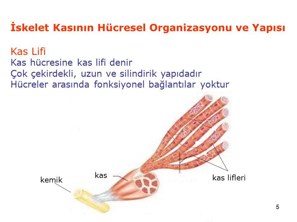 İskelet Kasının Hücresel Organizasyonu ve Yapısı Kas Lifi