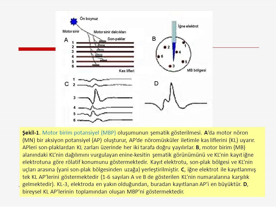 Şekil-1. Motor birim potansiyel (MBP) oluşumunun şematik gösterilmesi