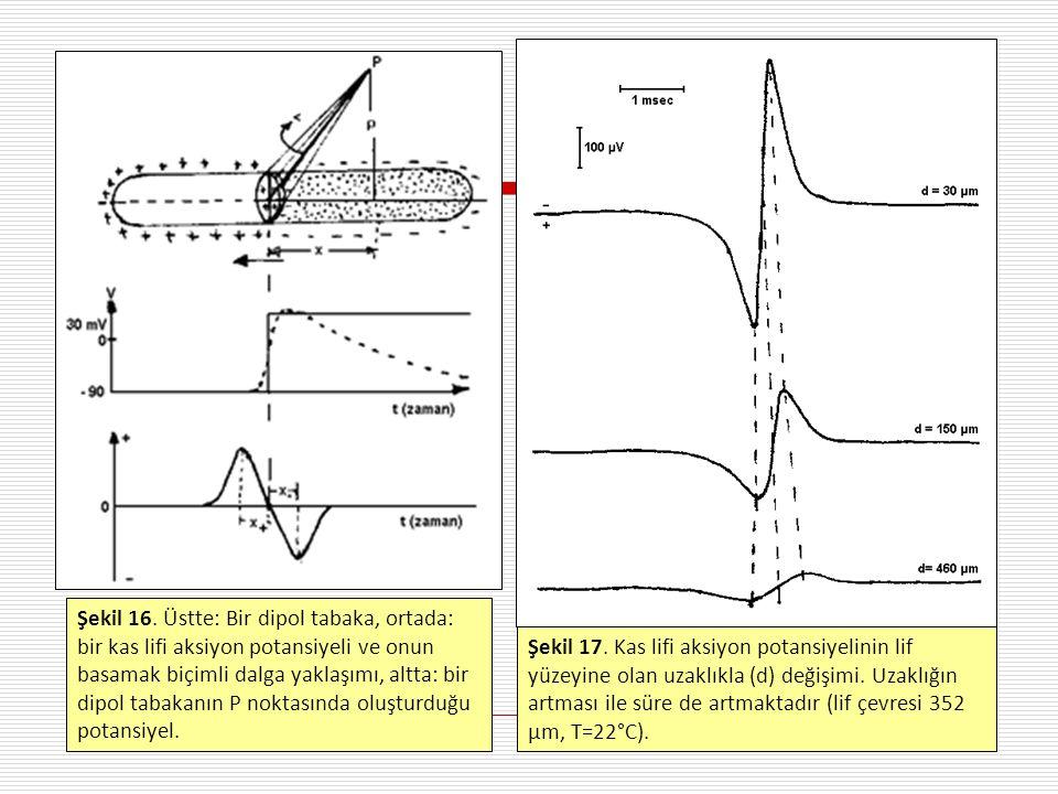 Şekil 17. Kas lifi aksiyon potansiyelinin lif yüzeyine olan uzaklıkla (d) değişimi. Uzaklığın artması ile süre de artmaktadır (lif çevresi 352 µm, T=22°C).