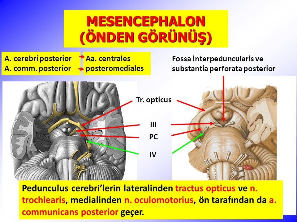 MESENCEPHALON (ÖNDEN GÖRÜNÜŞ)