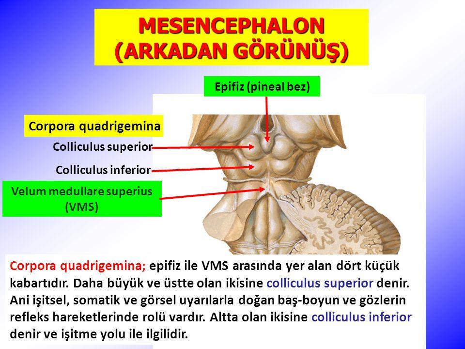 MESENCEPHALON (ARKADAN GÖRÜNÜŞ) Velum medullare superius (VMS)