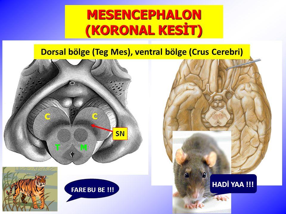 MESENCEPHALON (KORONAL KESİT)
