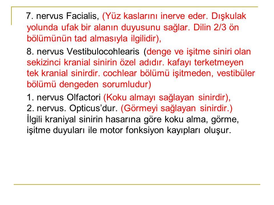 7. nervus Facialis, (Yüz kaslarını inerve eder