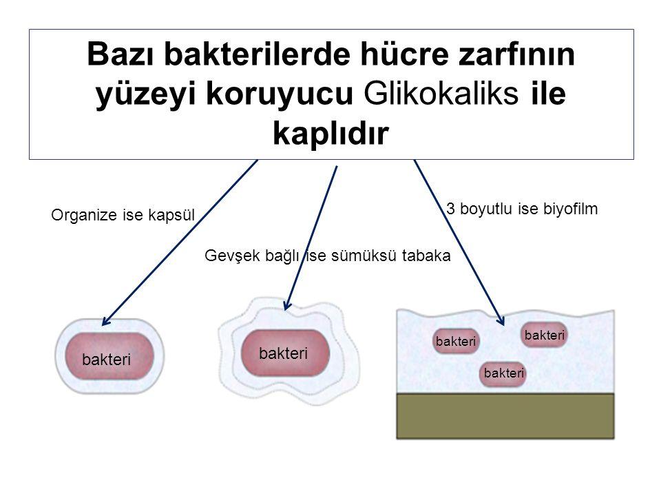 Bazı bakterilerde hücre zarfının yüzeyi koruyucu Glikokaliks ile kaplıdır