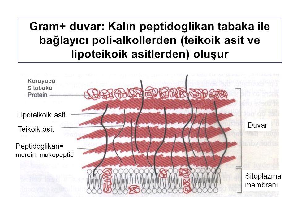 Gram+ duvar: Kalın peptidoglikan tabaka ile bağlayıcı poli-alkollerden (teikoik asit ve lipoteikoik asitlerden) oluşur