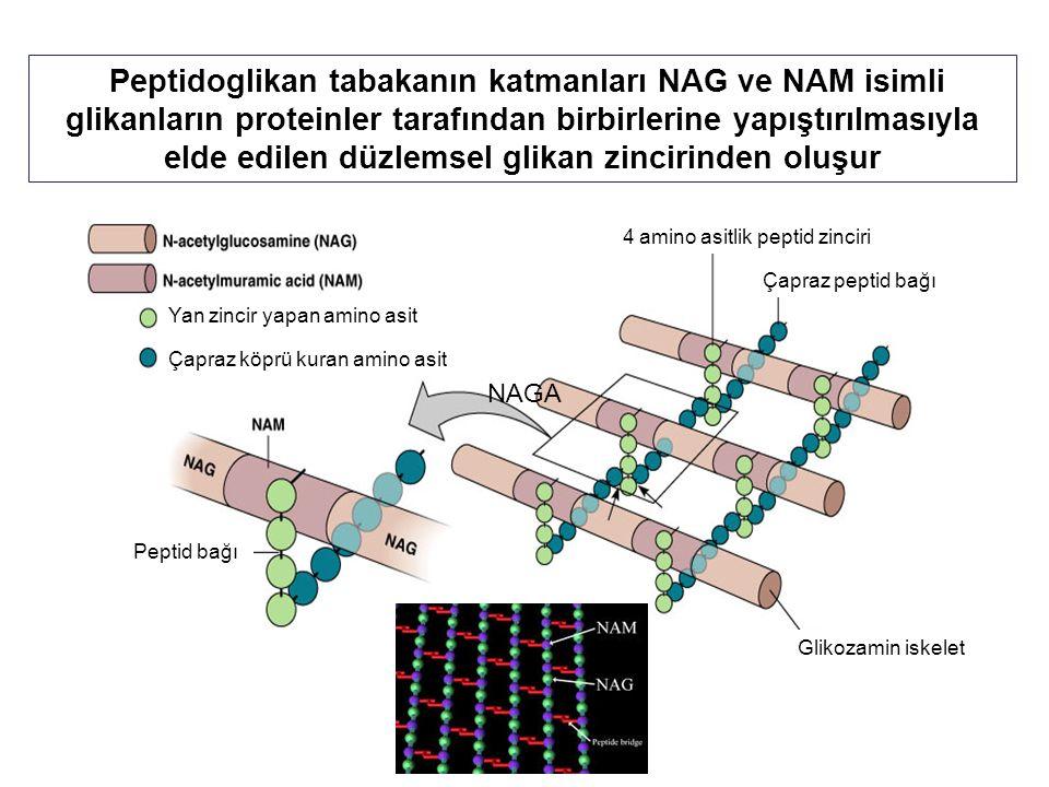 Peptidoglikan tabakanın katmanları NAG ve NAM isimli glikanların proteinler tarafından birbirlerine yapıştırılmasıyla elde edilen düzlemsel glikan zincirinden oluşur