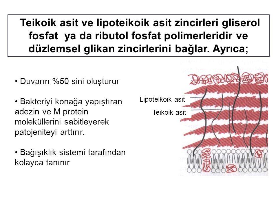 Teikoik asit ve lipoteikoik asit zincirleri gliserol fosfat ya da ributol fosfat polimerleridir ve düzlemsel glikan zincirlerini bağlar. Ayrıca;