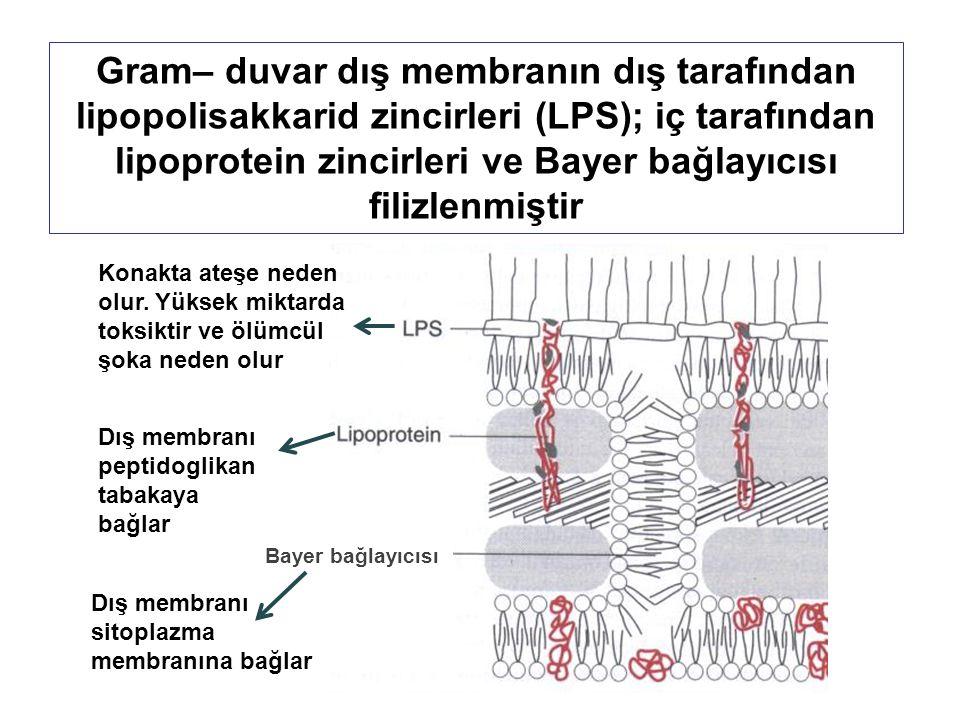 Gram– duvar dış membranın dış tarafından lipopolisakkarid zincirleri (LPS); iç tarafından lipoprotein zincirleri ve Bayer bağlayıcısı filizlenmiştir