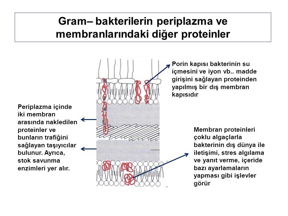 Gram– bakterilerin periplazma ve membranlarındaki diğer proteinler