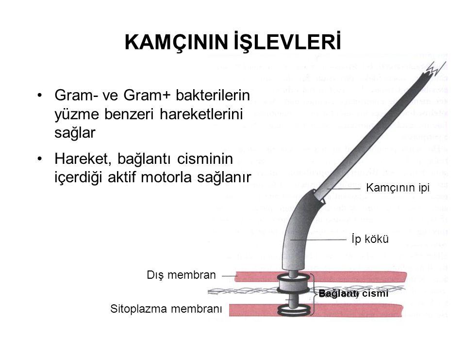 KAMÇININ İŞLEVLERİ Gram- ve Gram+ bakterilerin yüzme benzeri hareketlerini sağlar. Hareket, bağlantı cisminin içerdiği aktif motorla sağlanır.