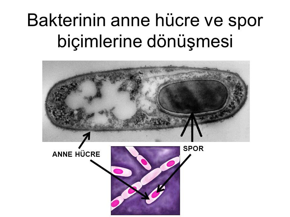 Bakterinin anne hücre ve spor biçimlerine dönüşmesi