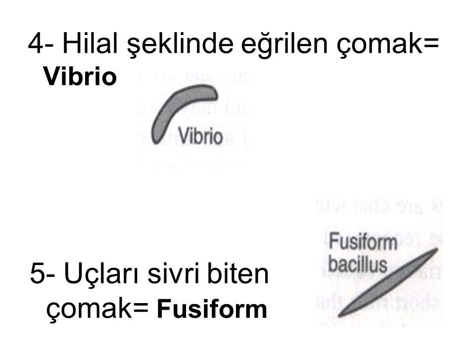 5- Uçları sivri biten çomak= Fusiform