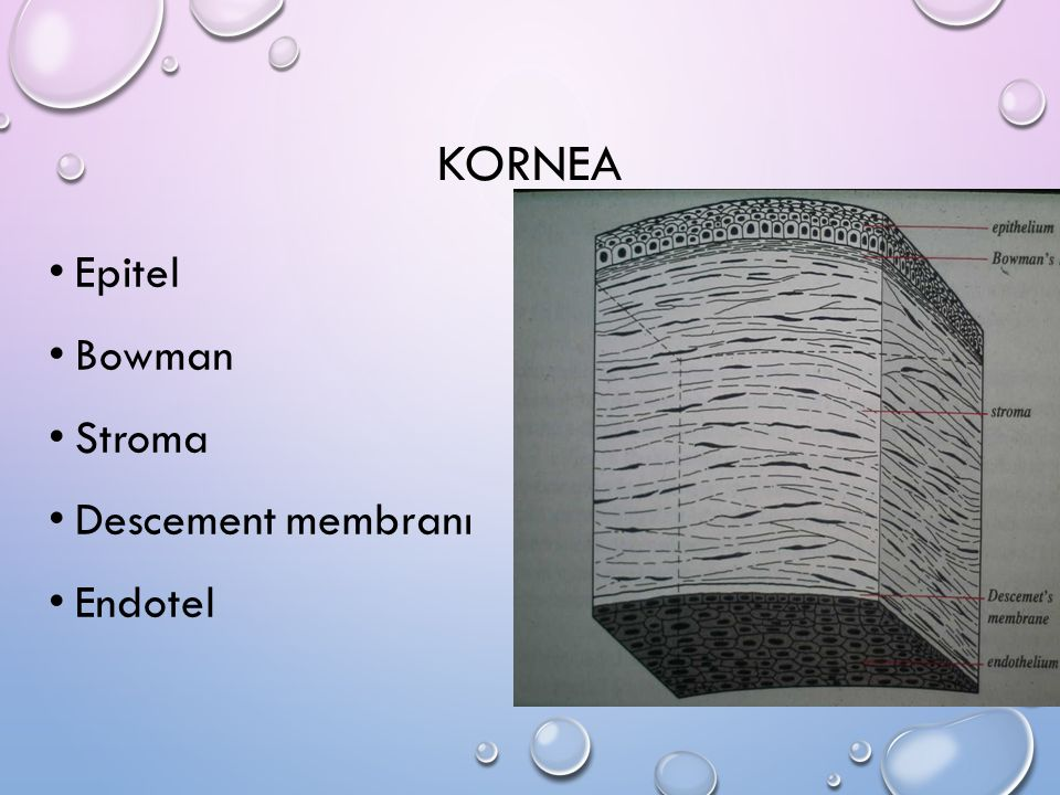 KORNEA Epitel Bowman Stroma Descement membranı Endotel