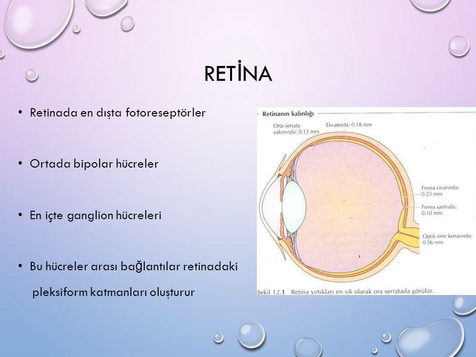 RETİNA Retinada en dışta fotoreseptörler Ortada bipolar hücreler