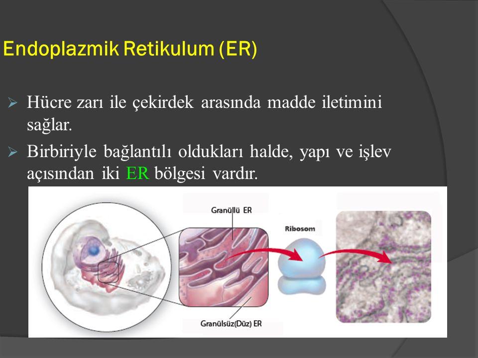 Endoplazmik Retikulum (ER)