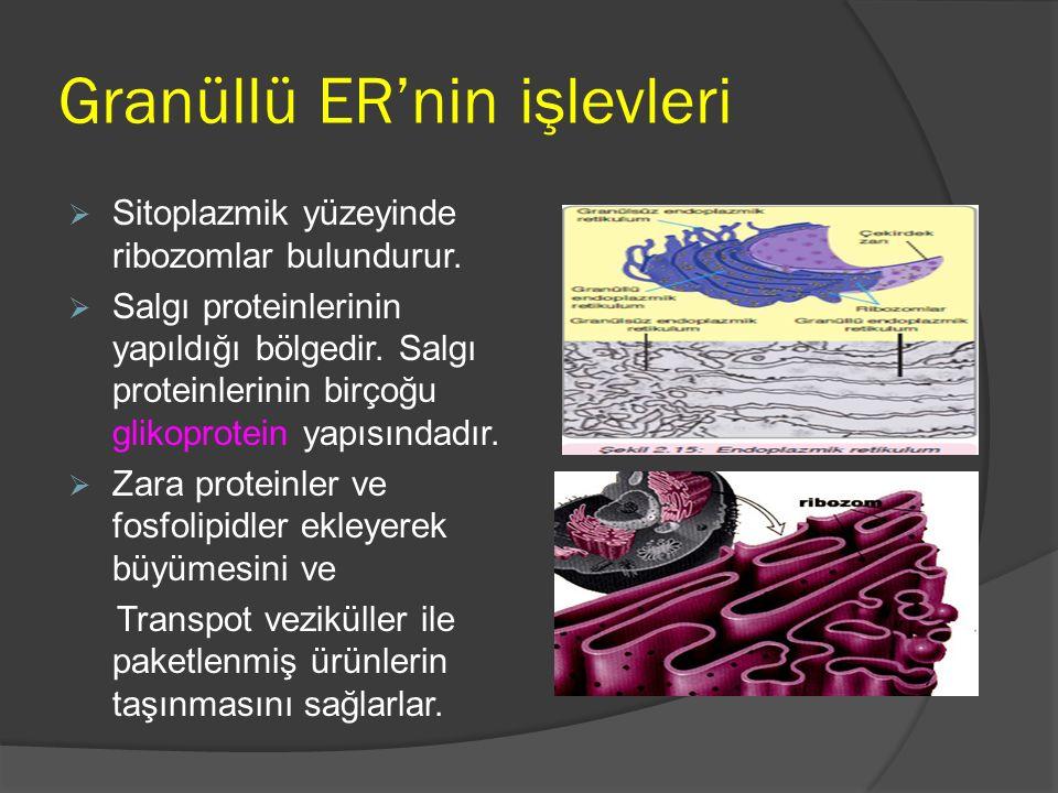 Granüllü ER'nin işlevleri