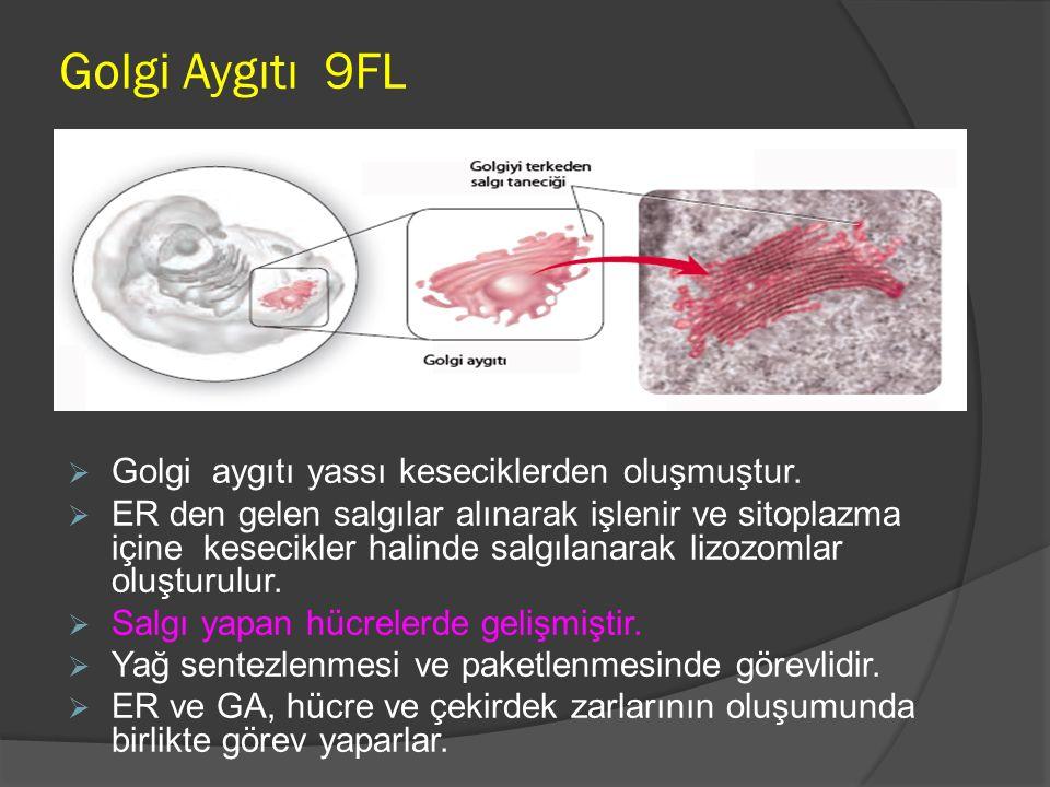 Golgi Aygıtı 9FL Golgi aygıtı yassı keseciklerden oluşmuştur.