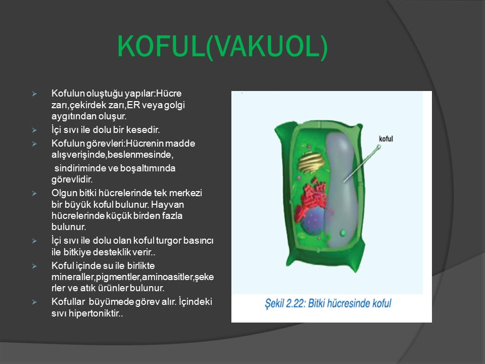 KOFUL(VAKUOL) Kofulun oluştuğu yapılar:Hücre zarı,çekirdek zarı,ER veya golgi aygıtından oluşur. İçi sıvı ile dolu bir kesedir.