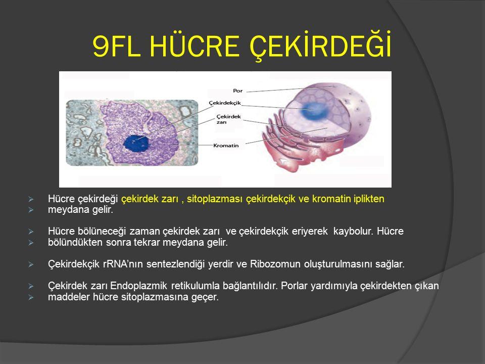 9FL HÜCRE ÇEKİRDEĞİ Hücre çekirdeği çekirdek zarı , sitoplazması çekirdekçik ve kromatin iplikten. meydana gelir.