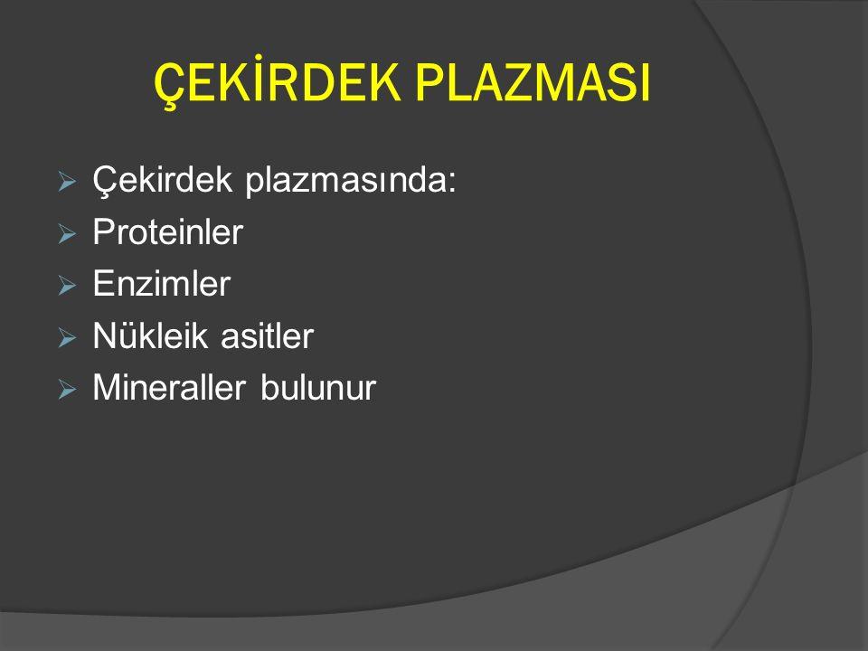 ÇEKİRDEK PLAZMASI Çekirdek plazmasında: Proteinler Enzimler