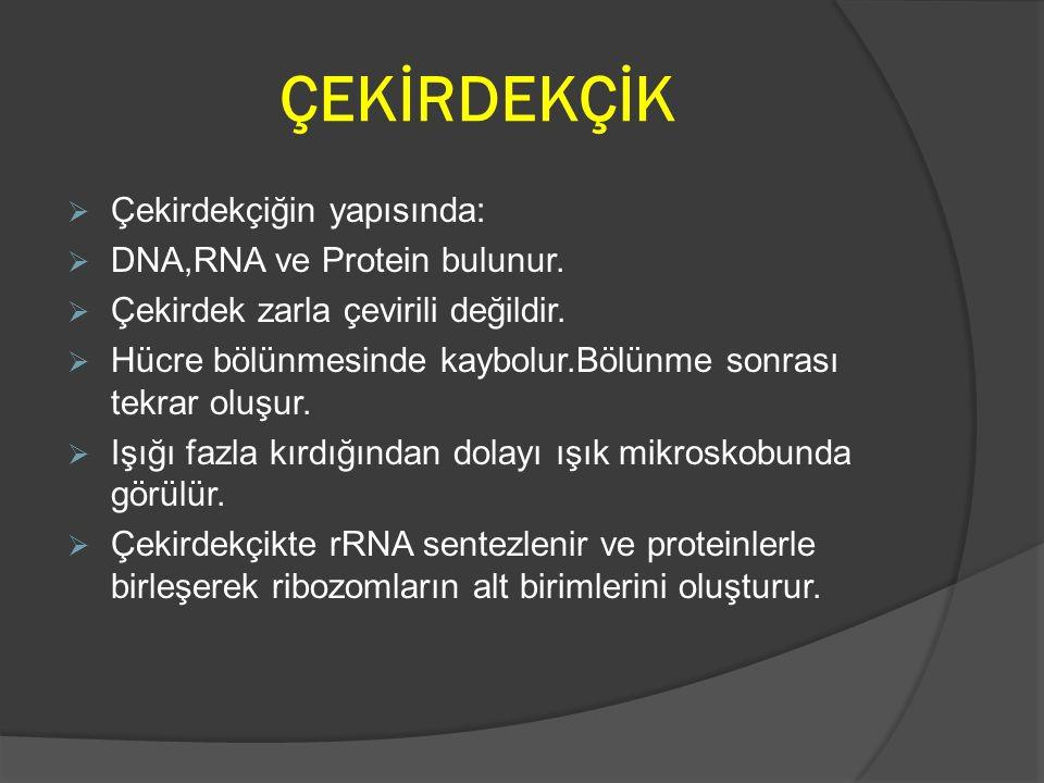 ÇEKİRDEKÇİK Çekirdekçiğin yapısında: DNA,RNA ve Protein bulunur.
