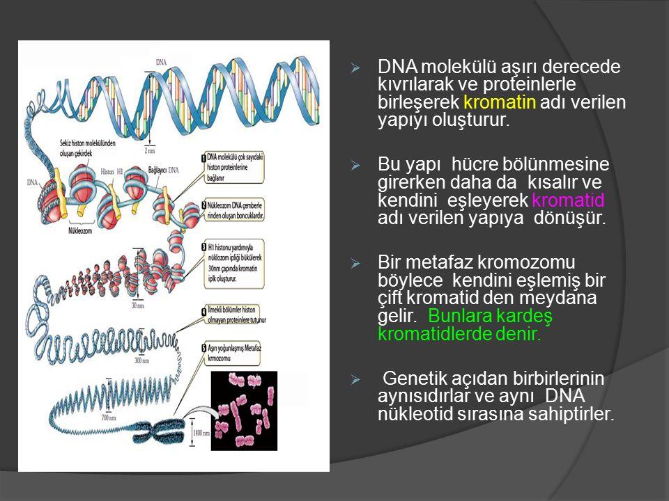 DNA molekülü aşırı derecede kıvrılarak ve proteinlerle birleşerek kromatin adı verilen yapıyı oluşturur.