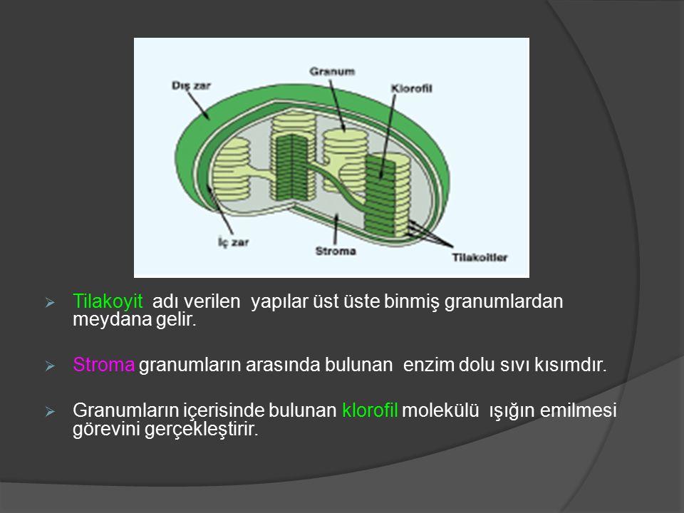 Tilakoyit adı verilen yapılar üst üste binmiş granumlardan meydana gelir.