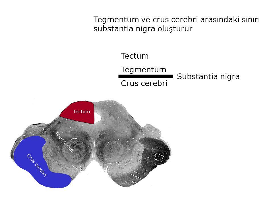 Tegmentum ve crus cerebri arasındaki sınırı substantia nigra oluşturur