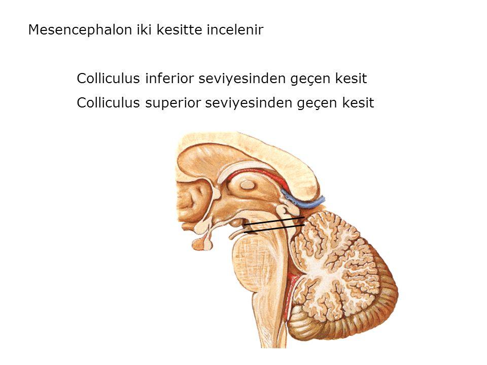 Mesencephalon iki kesitte incelenir
