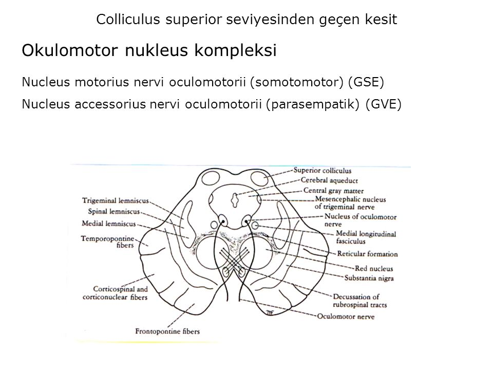 Colliculus superior seviyesinden geçen kesit