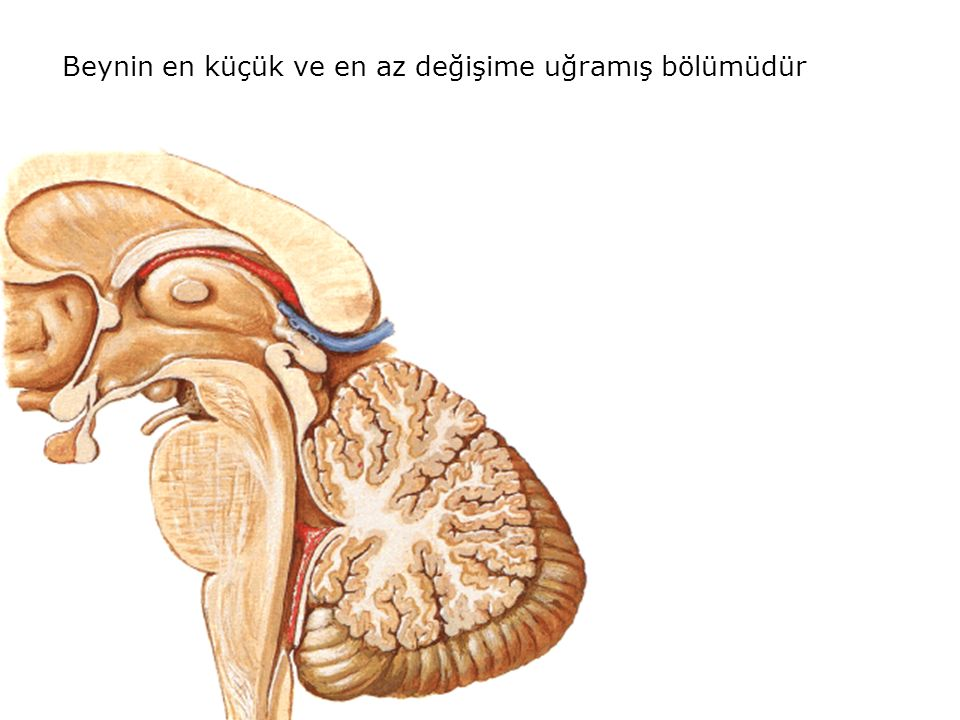 Beynin en küçük ve en az değişime uğramış bölümüdür