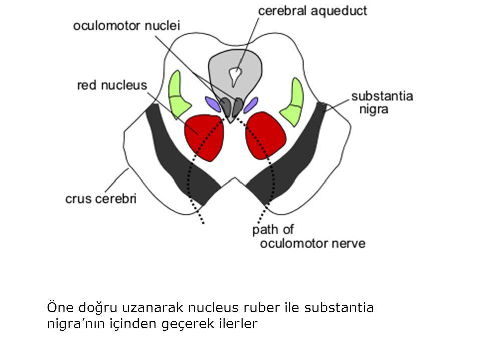 Öne doğru uzanarak nucleus ruber ile substantia nigra'nın içinden geçerek ilerler