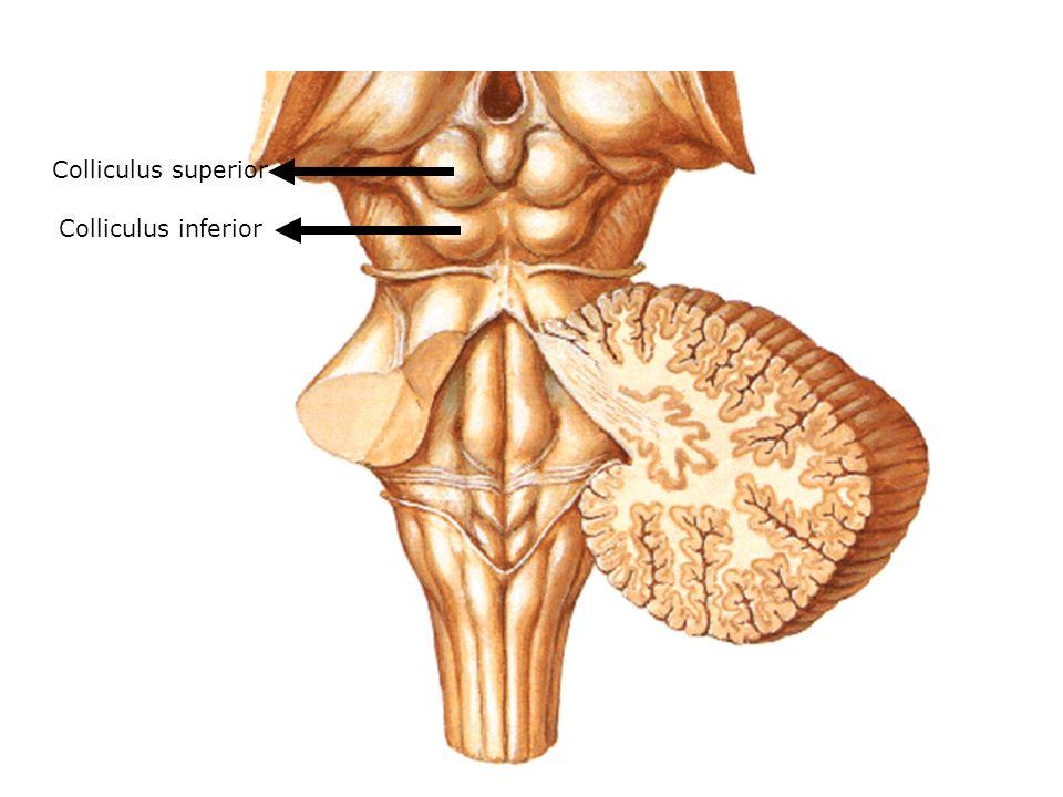 Colliculus superior Colliculus inferior