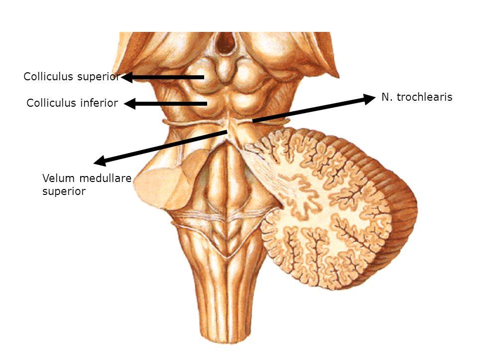 Colliculus superior N. trochlearis Colliculus inferior Velum medullare superior
