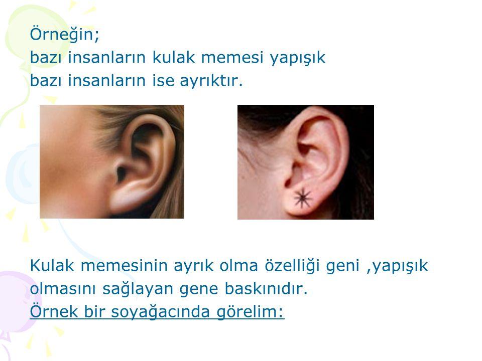 Örneğin; bazı insanların kulak memesi yapışık. bazı insanların ise ayrıktır. Kulak memesinin ayrık olma özelliği geni ,yapışık.